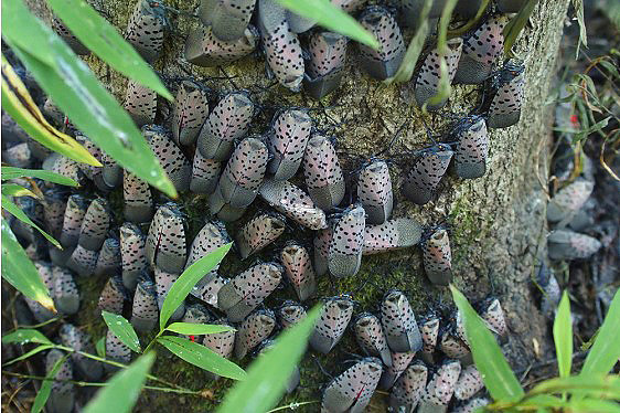 Spotted lanternfly on tree