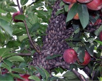 Spotted lanternfly on apple